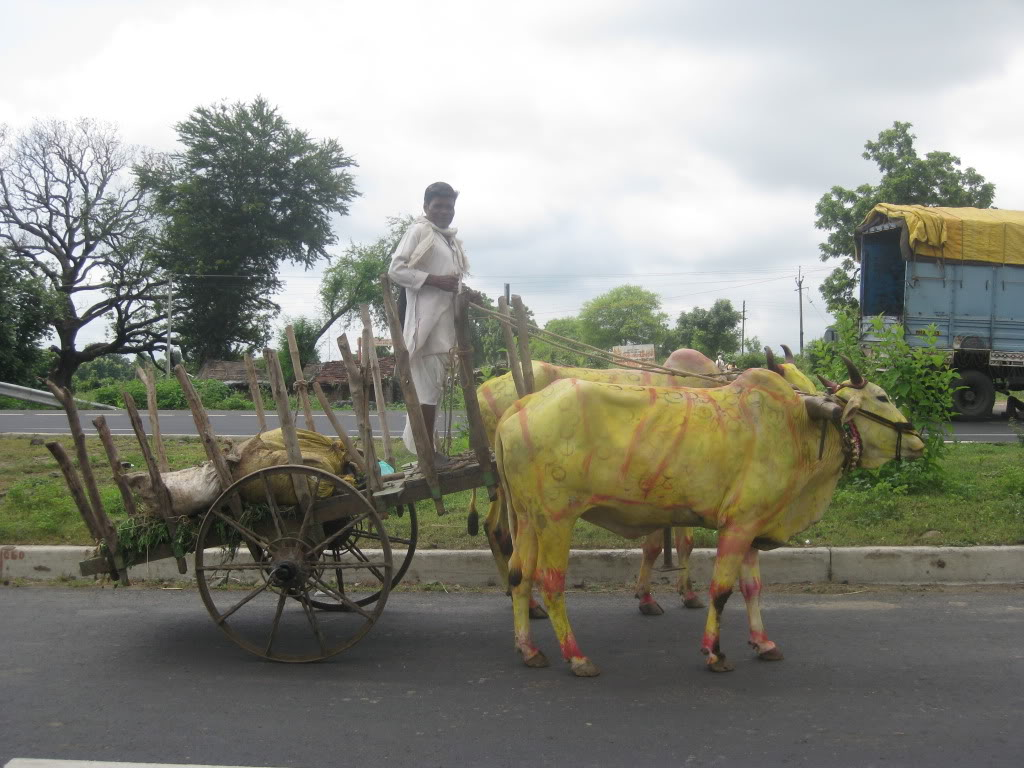 Cattle Pulling a Cart.  Maharashtra, 100Km W of Nagpur, India.  It seems that people were painting and decorating the cattle on weekends with bright colors, spots, hearts, and putting bright paper, paint and colors on their bodies and horns.  Or at least on this particular weekend.