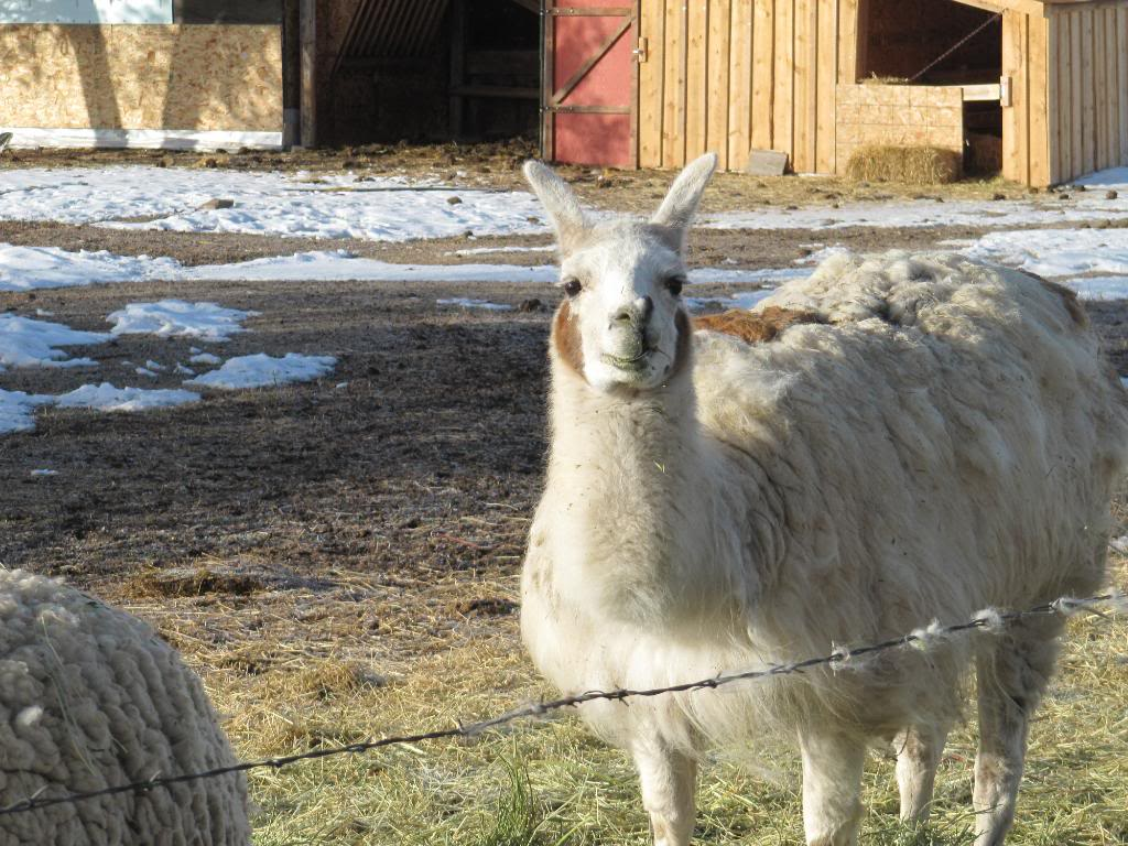 I believe that the Llama is called Denny.